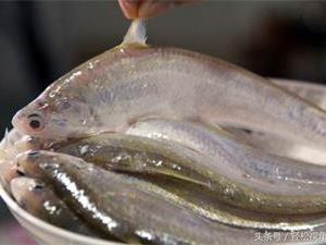 长江刀鱼为什么这么贵?