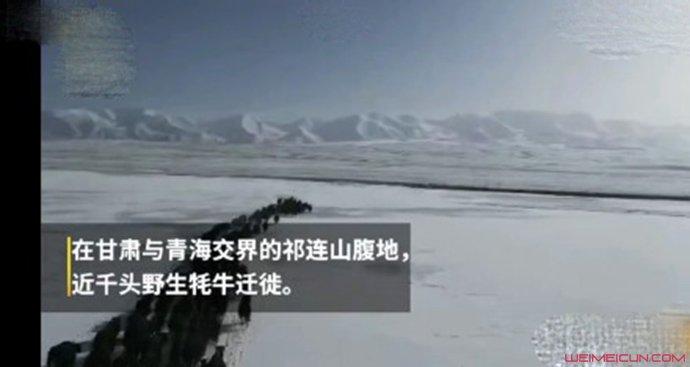 祁连山千头野牦牛踏雪迁徙 局面壮观相当稀有细节亮了(原创)
