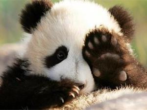为什么熊猫会濒临灭绝?