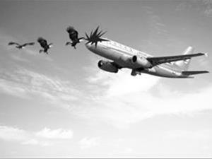 为什么鸟能撞毁飞机?