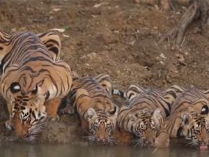 三胞胎老虎一家喝水 现场画面引热议很可爱也很治愈
