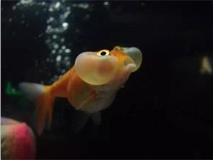 为什么金鱼眼睛这么大?