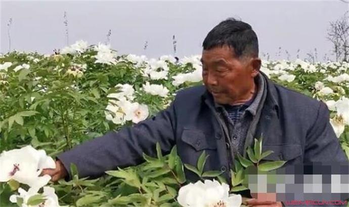 80岁老人10年为亡妻种6000株牡丹