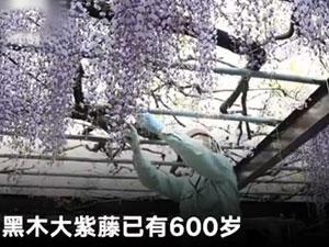 600岁巨型紫藤花被全部剪掉 揭具体详情及原因太可惜了