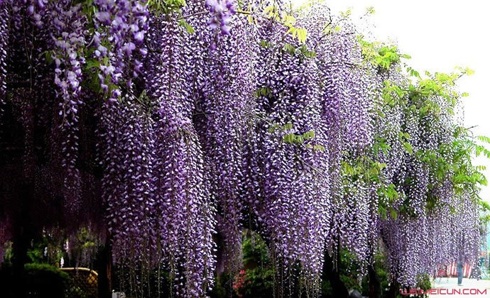 紫藤花什么时候开花