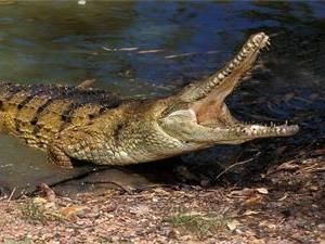 鳄鱼为什么要张着嘴晒太阳?