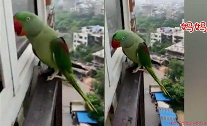鹦鹉敲窗叫妈妈