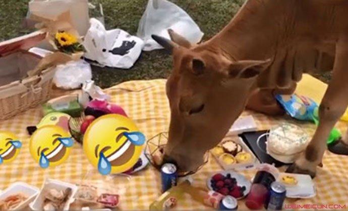 野餐被牛吃了