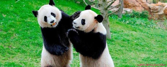 日本人为什么对熊猫这么狂热