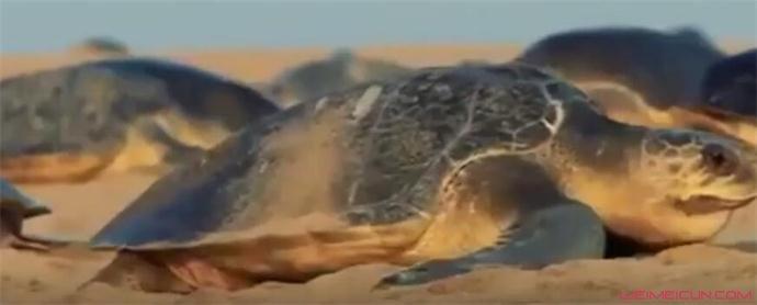 海龟孵化奔向大海