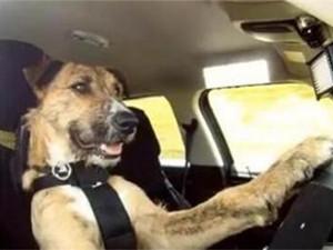 小狗8个星期学会开车 具体详情画面曝光利弊并存