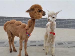 动物园迎六一给羊驼洗剪吹 做造型过程中诞生不少表情包