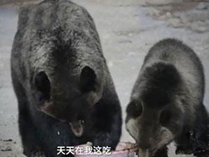 棕熊母子多次到管护站蹭吃 棕熊蹭吃全程被拍下太可爱了