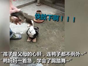 鸭宝宝被抓鸭妈妈急得跺脚 这一幕真的是既