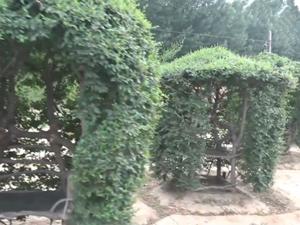 67岁老农用17年种出椅子树 耗时17年出奇迹过程令人佩服