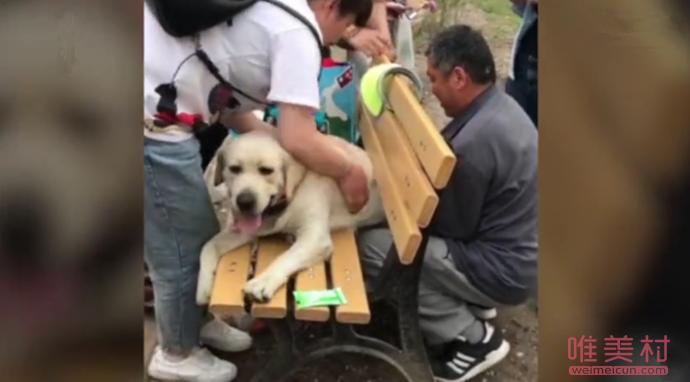 狗子太胖被公园长椅卡住