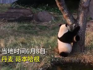大熊猫逃离动物园 萌态十足网友:是动物园