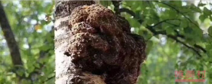 桦树茸的功效及副作用有哪些