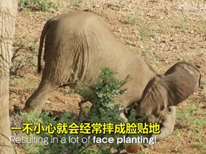 新生小象和大熊猫一样重 200多斤的宝宝连滚带爬学走路