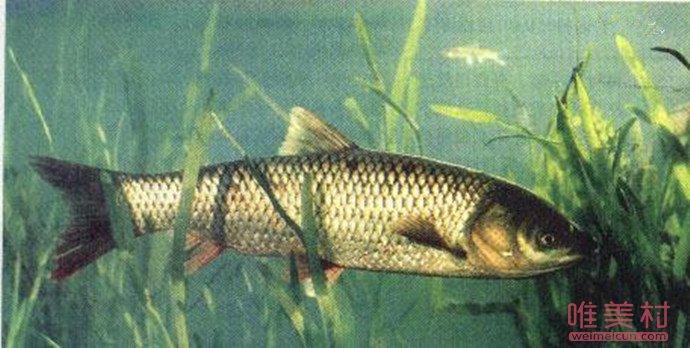 景德镇居民钓到上百斤大鱼
