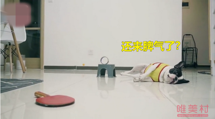 主人练习打乒乓球狗狗神助攻