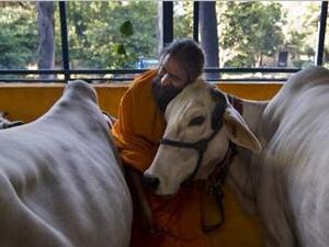 为什么牛在印度地位这么尊贵
