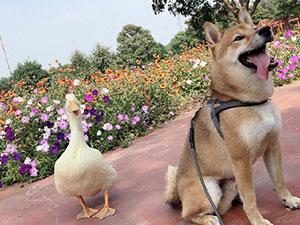 王珞丹发寻鸭启事 最新进展曝光人找到但鸭不在了
