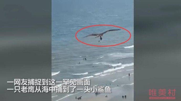 庞大老鹰从海中抓起一头鲨 详细经由画面让人惊呼(原创)