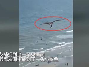 巨大老鹰从海中抓起一头鲨 详细经过画面让人惊呼
