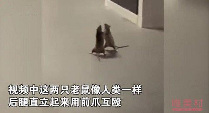 两只老鼠站立互殴一旁猫咪被吓傻 详细详情画面曝出逗乐大家(原创)