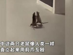 两只老鼠站立互殴一旁猫咪被吓傻 具体详情画面曝出逗乐大家