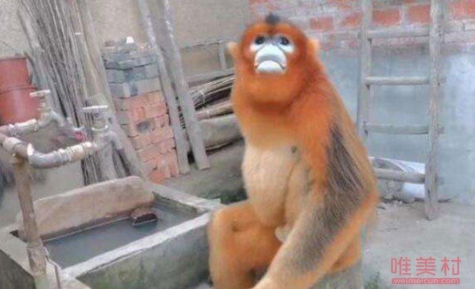 金丝猴溜进村蹭吃蹭喝