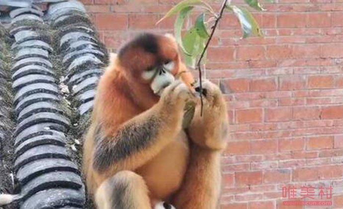 金丝猴为什么不凶