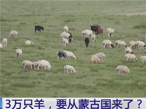 蒙古国送的3万只羊会