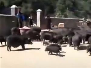 数千头猪听到音乐后回家吃饭 二师兄成精了